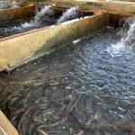雲林口湖是鰻魚養殖的故鄉