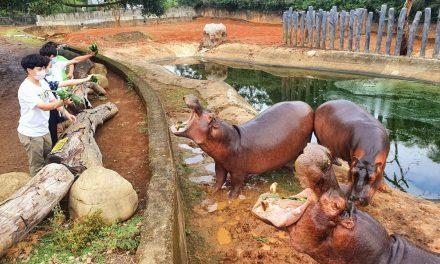全台獨有!捆草球餵食互動 六福村河馬體驗搶鮮登場